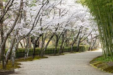Wall Mural - 日本の桜