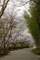 Fototapete - 日本の桜