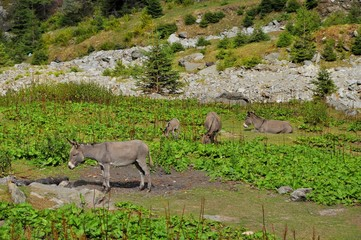 Donkeys on the mountains