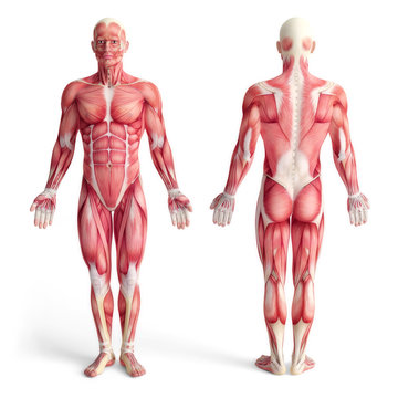 male anatomy of muscular system - front and back view