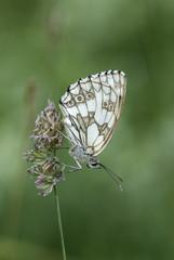 Marbled white butterfly, Melanargia galathea