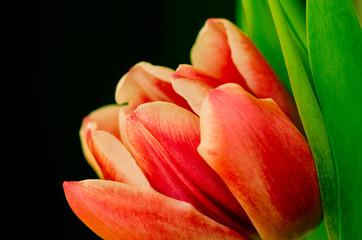 Obraz Pomarańczowy tulipan - fototapety do salonu