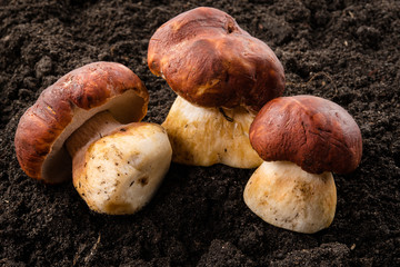 Three porcini mushrooms. Grow in forest