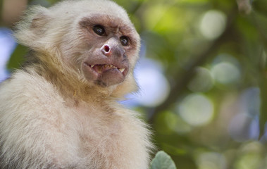 Frowning Monkey