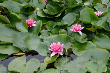 Background - lotuses