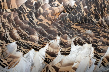 great bustard feathers