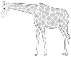 A sketch of a giraffe