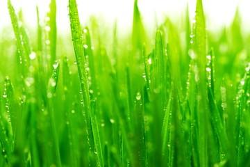 Dew on a fresh green grass