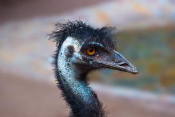 Emu australian bird