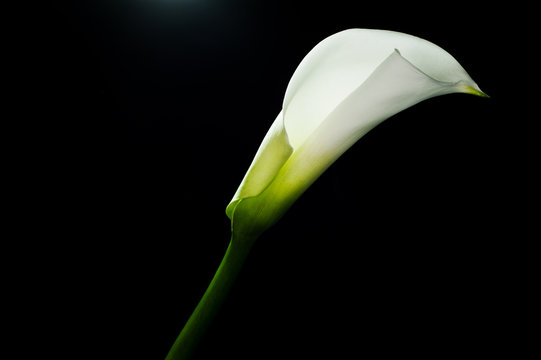 Calla lilly isolated on black