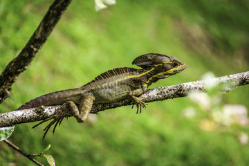 Brown and Yellow Basilisk Lizard