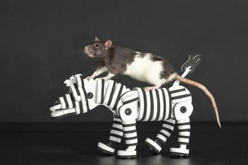 rat on zebra