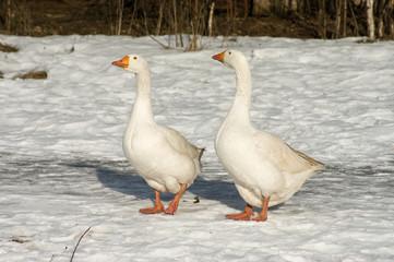 White geese.