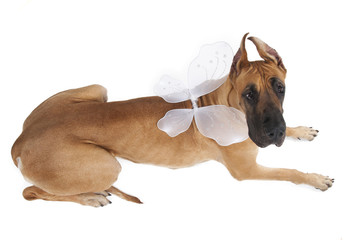 German fawn doggi in studio on a white background with wings