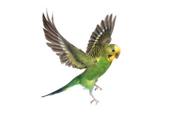 Poster de jardin Oiseau budgie