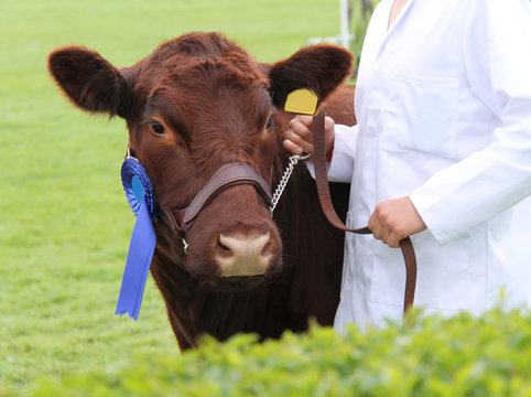 A Champion Lincoln Red Prize Winning Cow.