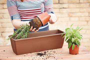 Hands transplanting rosemary to pot