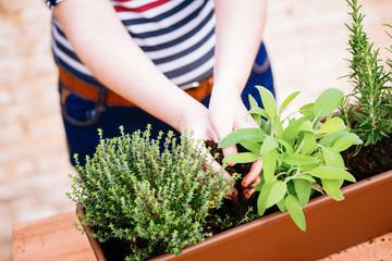 Hands transplanting sage on a pot