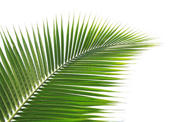 Green coconut leaf on white background
