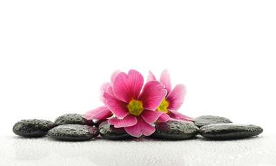 Obraz Pierwiosnki na kamieniach bazaltowych do spa - fototapety do salonu
