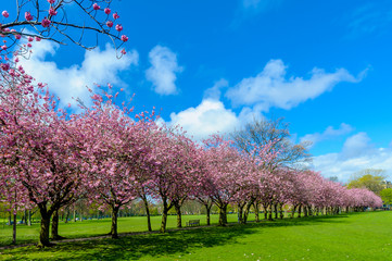 Spring path in park with cherry blossom and pink flowers.