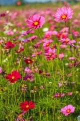 Violet flower field.