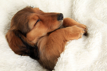 Sleeping dachshund puppy Wall mural