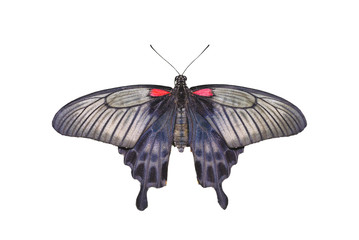 Yellow Mormon Butterfly