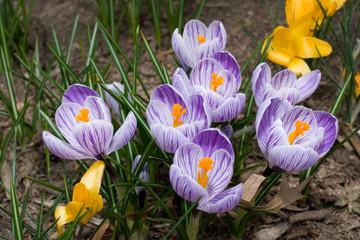 Photo of several purple crocus flowers