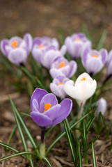 Crocus flowers with purple crocus in foreground