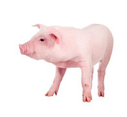 Pink pig. Isolated on white background