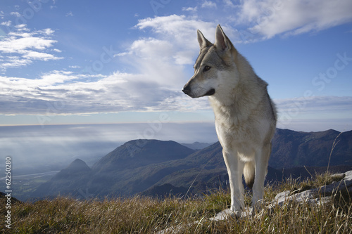 Wall mural Gray Wolf Howling