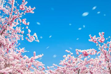 Wall Mural - Kirschblüten im Frühling