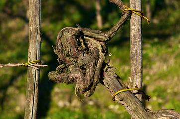 Fototapete - Grape plant
