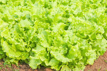 fresh green lettuce on vegetable plot.