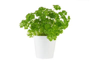 parsley in the white pot on white background