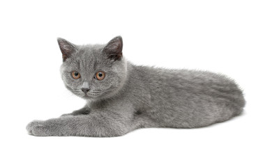 kitten (breed Scottish Straight) on white background