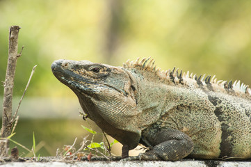 Adult Male Black Spiny-Tailed Iguana