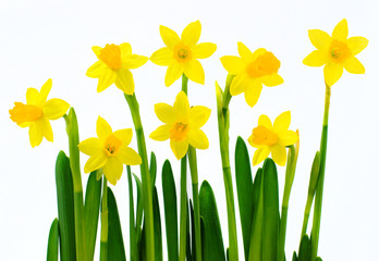 Poster Narcissus Fresh yellow daffodils