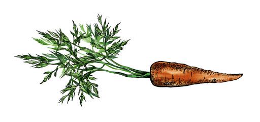 Carrot Sketch