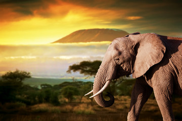 Wall Mural - Elephant on savanna. Mount Kilimanjaro at sunset. Safari