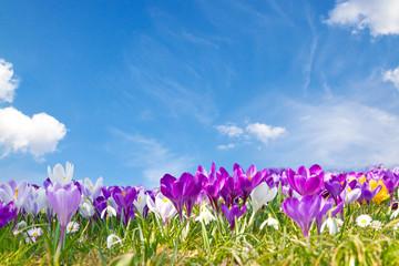 Canvas Prints Crocuses Krokusse auf der Frühlingswiese