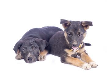 Cute black puppy
