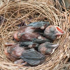 Baby birds sleeping in the nest