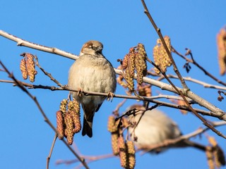 House sparrow sitting in a hazelnut tree with catkins