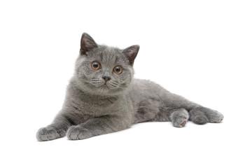 kitten (breed Scottish Stright) isolated on white background
