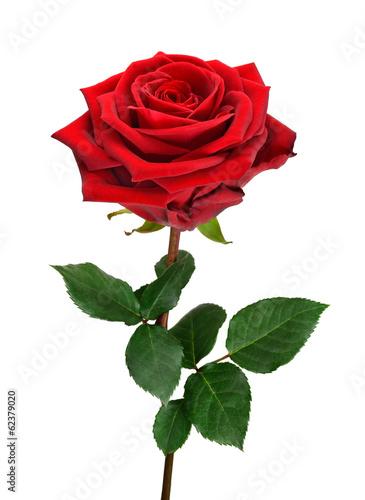 aufgebl hte rote rose stockfotos und lizenzfreie bilder auf bild 62379020. Black Bedroom Furniture Sets. Home Design Ideas