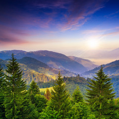 pine trees near valley in mountains and summer forest on hillsid