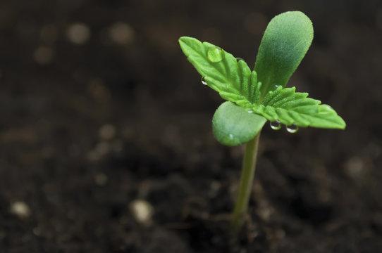 marijuana seeding