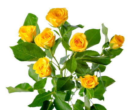 yellow rose bush flowers isolated over white
